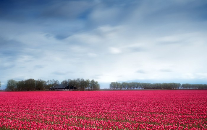 Tulips field in Lelystad, Netherlands