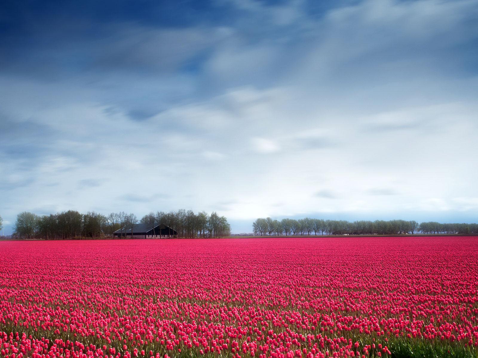 Tulips field in Lelystad, Netherlands